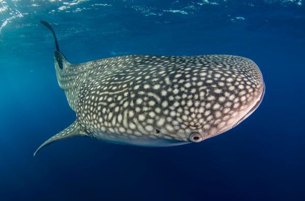 明星齐发声呼吁改变鲸鲨濒