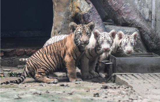 济南动物园孟加拉虎三胞胎满百日 两种毛色实属罕见