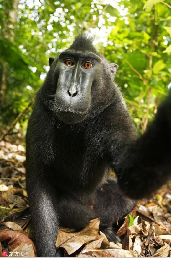 猴子自拍照版权属于谁?他
