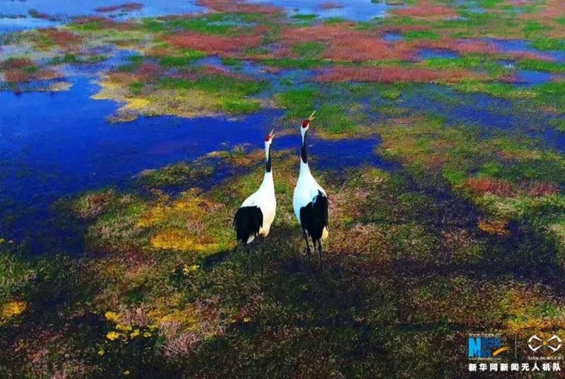 一对丹顶鹤在色彩斑斓的湿地上休憩。新华网 陈国远摄