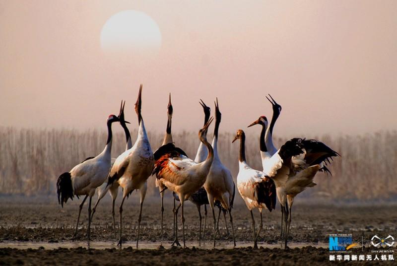 落日余晖下一群仰天高歌的丹顶鹤。新华网 陈国远摄