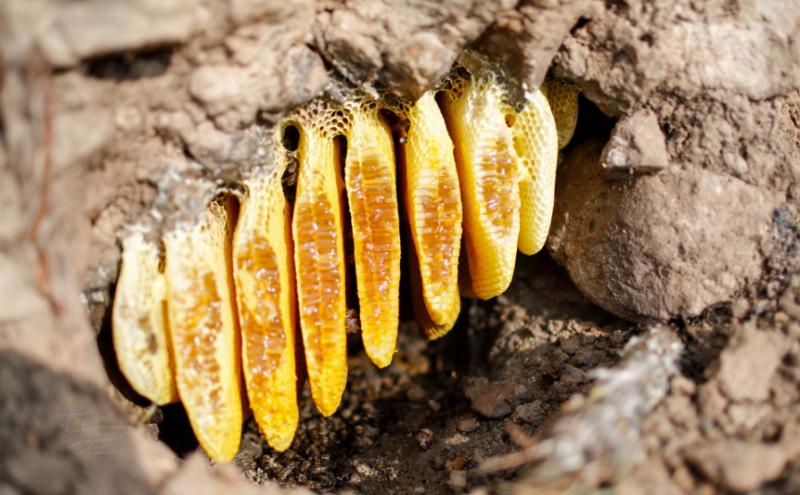 对阿布洛哈村的村民而言,他们收入的很大一部分来自于野生蜂蜜。这种野生蜂蜜很罕有,不可饲养,村民们冒着危险穿行在各种峭壁陡坡上,寻找野生蜂蜜。村民们凭借着经验,先找到蜂巢,然后每次取蜜不可全取完,留一部分,然后将洞口按原来那样封好,让野蜂继续产蜜不至于迁移。等到明年的时候再开洞取蜜。