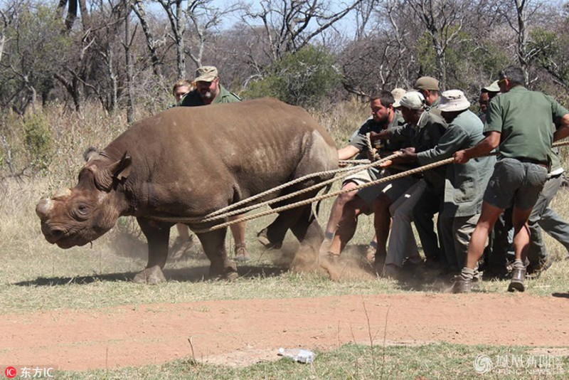 黑犀牛被悬挂在直升机上搬