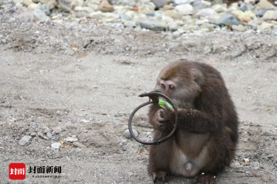 野生藏酋猴遭遇捕兽夹下山