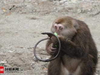 """野生藏酋猴遭遇捕兽夹下山""""求救"""""""