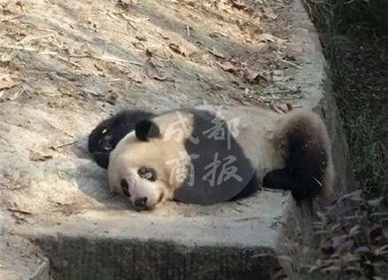 """心疼!成都多只大熊猫患""""螨"""