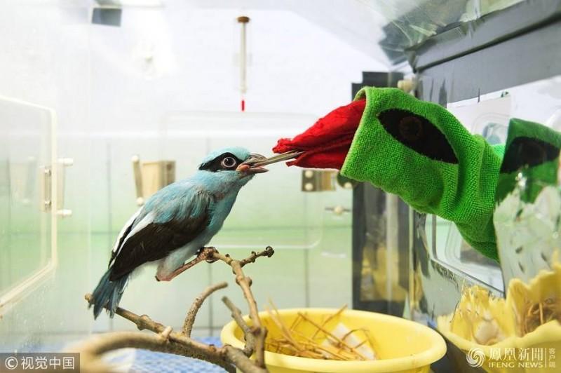 动物园饲养员假扮鸟妈妈喂