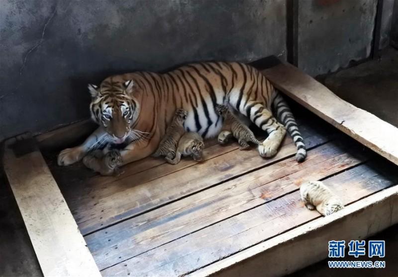 黑龙江海林:一雌性东北虎再