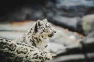 首只农区发现雪豹被放归天山