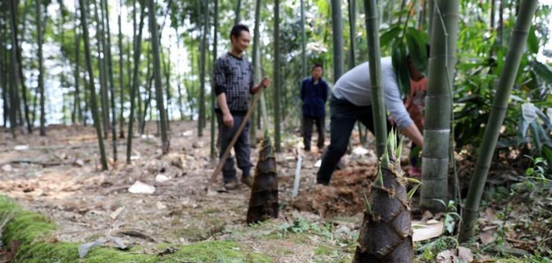 贵州省赤水市丙安镇丙安村的农民在自家竹园里采收竹笋(3月30日摄)。