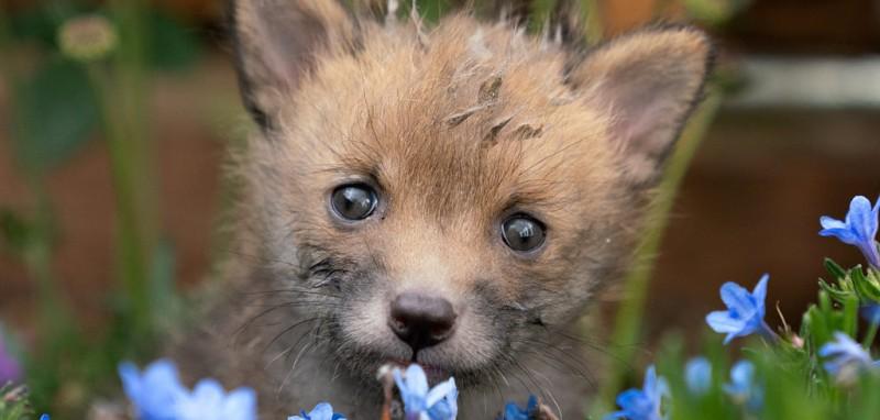 24岁的Chris目击了一只狐狸被汽车撞倒,他立即下车发现狐狸已经死亡,Chris发现这是一只狐狸妈妈,他在路边进行了紧急剖腹产手术,救了四只幼崽的生命。