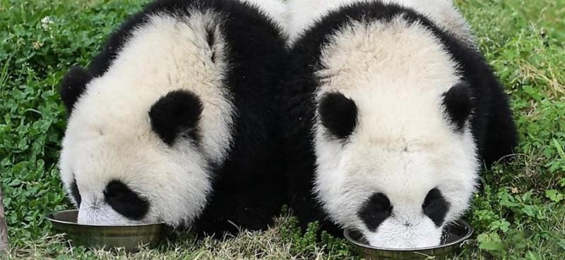 """5月26日在中国大熊猫保护研究中心卧龙神树坪基地的""""熊猫幼儿园""""内拍摄的大熊猫。    位于四川卧龙国家级自然保护区的中国大熊猫保护研究中心卧龙神树坪基地有一所""""熊猫幼儿园"""",目前,18只幼年大熊猫在这里悠闲地生活着。 中国大熊猫保护研究中心通过多年的不懈努力,攻克了圈养大熊猫人工繁育""""发情难""""""""配种受孕难""""""""育幼成活难""""三大难题,创建了世界最大的人工大熊猫圈养种群。 截至2018年年底,该中心圈养大熊猫种群已达到285只,占全世界圈养大熊猫种群的近60%。"""