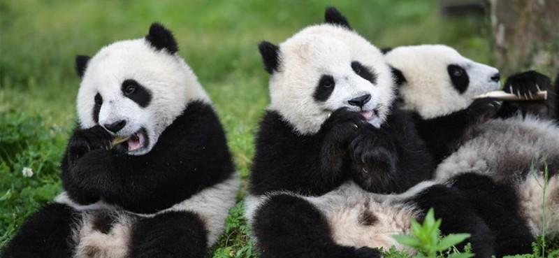 """5月26日在中国大熊猫保护研究中心卧龙神树坪基地的""""熊猫幼儿园""""内拍摄的大熊猫。"""