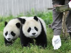 """初夏时节的""""熊猫动物园"""""""