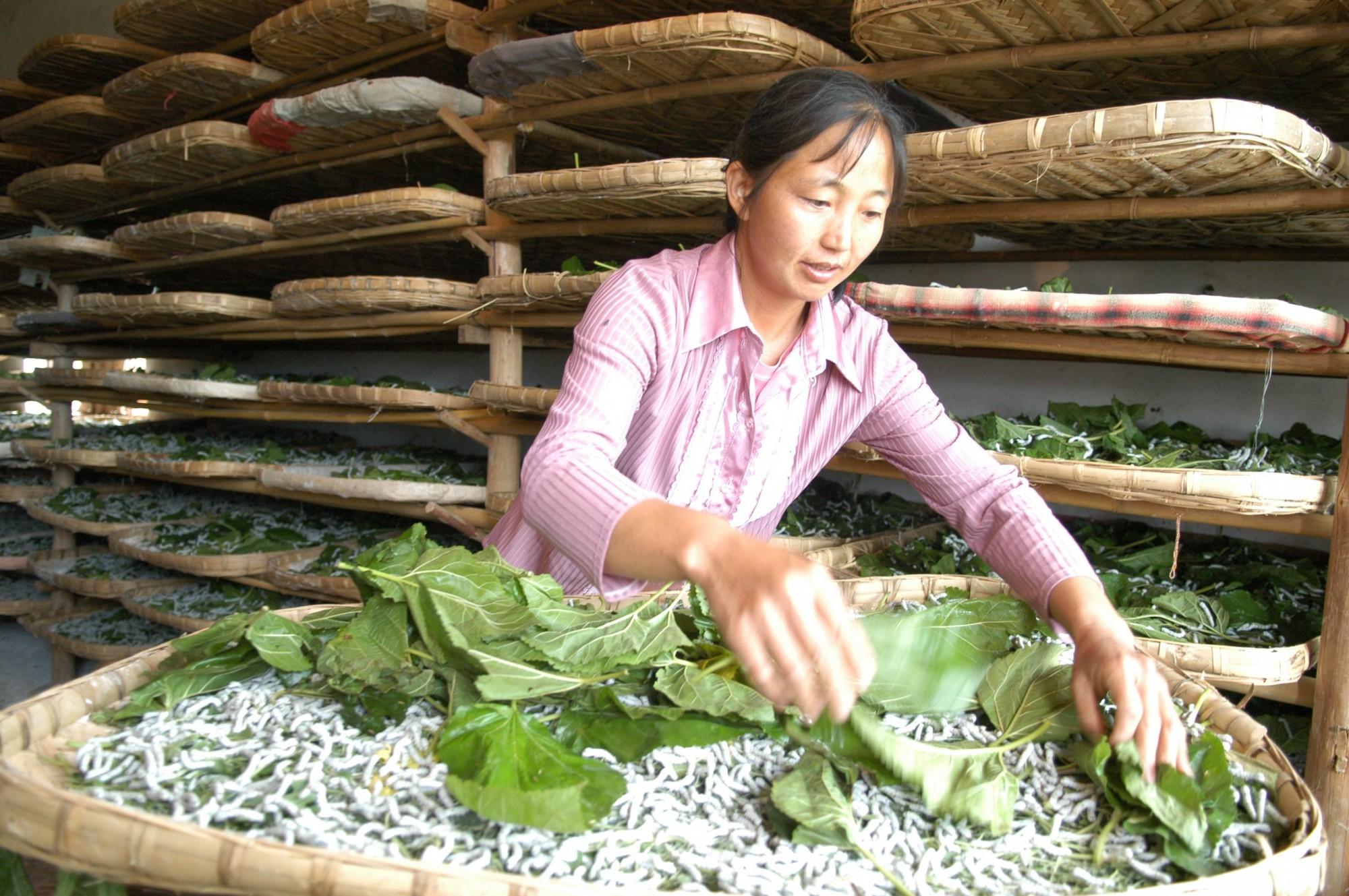 江蘇海安志愿者助力蠶農促增收
