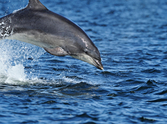 宽吻海豚惊现浅水海域
