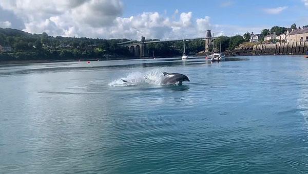 """日前,一名游客在进行探险之旅时,拍摄到这两只海豚在梅奈桥附近的海峡中跃起,仿佛在欢呼的观众面前表演特技和扭转动作。该视频的拍摄者在社交媒体上撰文称,""""宽吻海豚又回到了梅奈桥附近,在伦德温岛也发现了一大片栖息地。这真是太美了。""""图为安格尔西岛附近浅水区有两只宽吻海豚在戏水。"""