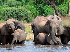 非洲试图用象牙生意换取保护大象资金