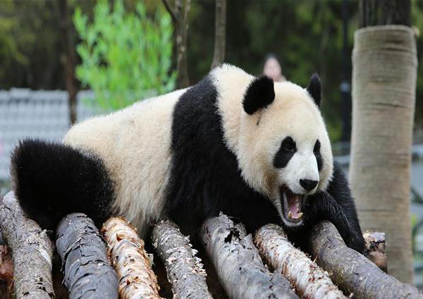 """11月6日,在甲勿海大熊猫保护研究园,大熊猫""""新新""""在休息。 当日,在四川省阿坝藏族羌族自治州九寨沟县,甲勿海大熊猫保护研究园正式开园。园区内有四只从中国大熊猫保护研究中心借入的大熊猫""""新新""""""""天天""""""""海海""""""""小礼物""""。"""