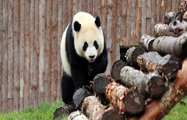 """11月6日,在甲勿海大熊猫保护研究园,大熊猫""""新新""""在玩耍。 当日,在四川省阿坝藏族羌族自治州九寨沟县,甲勿海大熊猫保护研究园正式开园。园区内有四只从中国大熊猫保护研究中心借入的大熊猫""""新新""""""""天天""""""""海海""""""""小礼物""""。"""