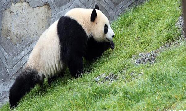 """11月6日,在甲勿海大熊猫保护研究园,大熊猫""""天天""""在树上休息。 当日,在四川省阿坝藏族羌族自治州九寨沟县,甲勿海大熊猫保护研究园正式开园。园区内有四只从中国大熊猫保护研究中心借入的大熊猫""""新新""""""""天天""""""""海海""""""""小礼物""""。"""