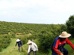 河南光山:油茶产业促民增收