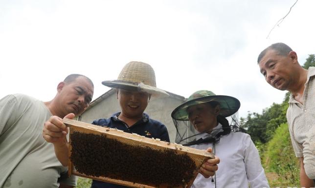 说干就干,一向雷厉风行的魏兴旺当即就用自己剩余的10万元积蓄从外地购买了120箱蜂种,开始了自己的养蜂之旅。图为魏兴旺在养蜂基地查看蜜蜂产蜜情况。