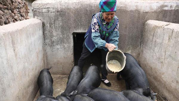 昭觉县火普村建档立卡贫困户曲比子阿木在喂猪(5月11日摄)。